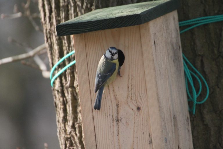 Looking for territorial male tits